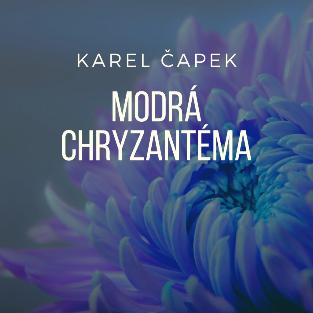 modra-chryzantema